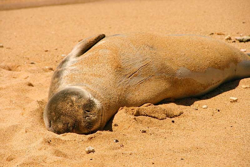 Foca Poipu Beach